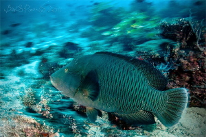 Napoleon Wrasse in in Dhigurah Beyru by Boris Pamikov 
